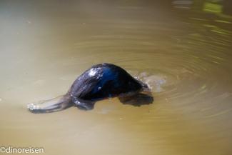 Platypus beim Abtauchen